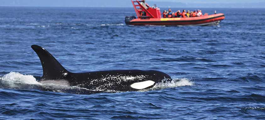 whale-watching-victoria
