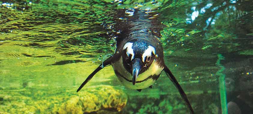 The-Florida-Aquarium_African-Blackfooted-Penguin_Penguin-Point-Exhibit